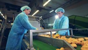两名男性工作者处理新鲜的土豆肿胀 股票视频