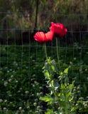 两后面点燃了生动的红色鸦片有软的焦点绿色叶子背景 免版税库存图片