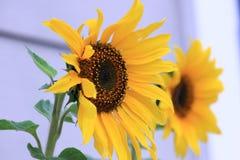 两向日葵绽放在一个围场 库存照片
