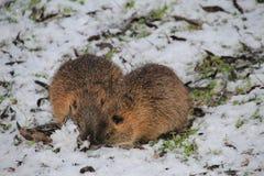 两啮齿目动物在冬天森林里寻找食物 免版税库存图片