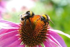 两土蜂的 图库摄影
