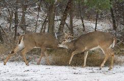 两在一多雪的天白盯梢了与战斗的鹿大型装配架 免版税库存照片