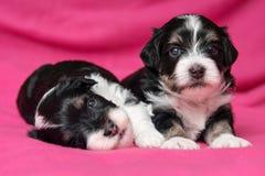 两在一条桃红色床罩的逗人喜爱的说谎的havanese小狗 库存照片