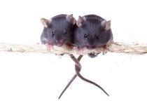 两在一条绳索的老鼠与交错的尾巴 隔绝在白色ba 库存图片