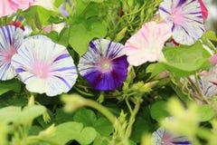 两在中心定了调子紫色和白色牵牛花花 免版税图库摄影