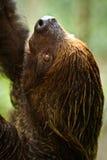 两在亚马逊雨林, Yasuni的用脚尖踢的怠惰 图库摄影