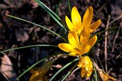 两在充分的开花的黄色番红花在棕色地球增长在公园 库存图片