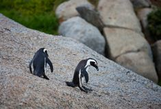 两在冰砾的非洲企鹅蠢企鹅demersus在开普敦南非附近靠岸 免版税库存照片