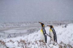 两在南极半岛的企鹅国王 库存照片