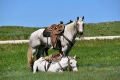 两在召集和烙记的被跛行的马 免版税图库摄影
