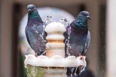两在喷泉的鸽子 免版税库存照片