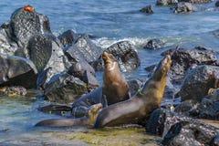 两在多岩石的海滩,加拉帕戈斯,厄瓜多尔的海狼 免版税库存照片