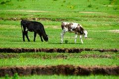 两在大草原的母牛 免版税库存图片