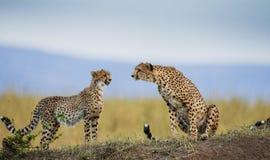 两在大草原的猎豹 肯尼亚 坦桑尼亚 闹事 国家公园 serengeti 马赛马拉 免版税库存照片