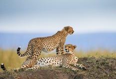 两在大草原的猎豹 肯尼亚 坦桑尼亚 闹事 国家公园 serengeti 马赛马拉 库存图片