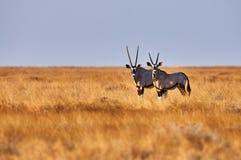 两在大草原的羚羊属 免版税图库摄影