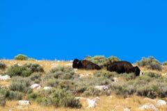 两在小山上面的北美野牛在羚羊海岛国家公园在犹他 免版税库存图片