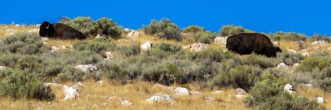 两在小山上面的北美野牛在羚羊海岛国家公园在犹他 图库摄影