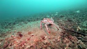 两在巴伦支海一个离开的含沙底部的巨型螃蟹步行  股票视频