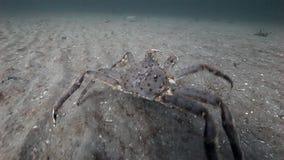 两在巴伦支海一个离开的含沙底部的巨型螃蟹步行  股票录像