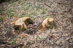 两在干燥橡木叶子中的树桩 图库摄影