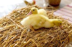 两在干草的黄色鸭子 库存图片
