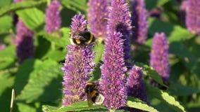 两在开花的茴香海索草花的美丽的土蜂 股票视频
