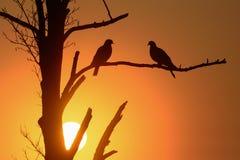 两在日出的斑尾林鸽 图库摄影
