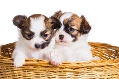 两在柳条筐的小狗 库存图片