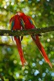 两在树枝的美丽的鹦鹉在自然栖所 绿色栖所 对大鹦鹉猩红色金刚鹦鹉, Ara澳门,两只鸟sitti 免版税库存图片