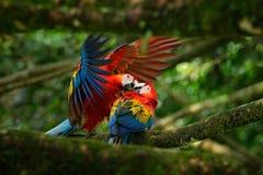 两在树枝的美丽的鹦鹉在自然栖所 绿色栖所 对大鹦鹉猩红色金刚鹦鹉, Ara澳门,两只鸟sitti 库存图片