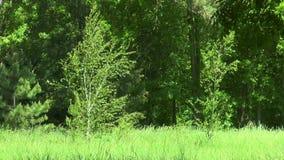 两在森林边缘的桦树 影视素材