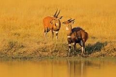 两在水附近的软羊皮羚羊 动物,弯角羚属equinus,大草原羚羊在西部,中央发现了,东部和南部非洲 免版税库存图片