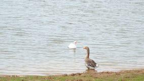 两在池塘的家养的鹅 股票视频