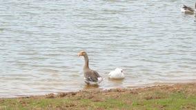 两在池塘的家养的鹅 股票录像