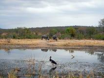 两在河岸在克鲁格,南非的野生白犀牛 库存照片
