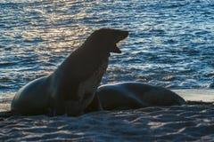 两在海滩,加拉帕戈斯,厄瓜多尔岸的海狼  免版税库存图片