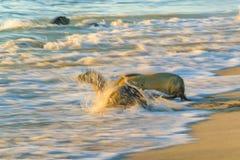 两在海滩,加拉帕戈斯,厄瓜多尔岸的海狼  免版税库存照片