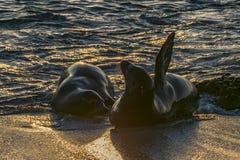 两在海滩,加拉帕戈斯,厄瓜多尔岸的海狼  库存照片