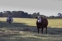 两在牧场地杂交了繁育商业母牛 库存图片