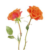 两在白色的橙色美丽的玫瑰色花 免版税库存图片