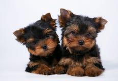 两在白色背景的约克夏狗小狗 免版税库存照片