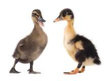 两在白色隔绝的逗人喜爱的鸭子 库存照片