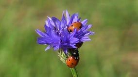 两在矢车菊开花的美丽的瓢虫瓢虫 股票录像