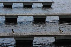 两在码头的雄鸭 免版税库存图片