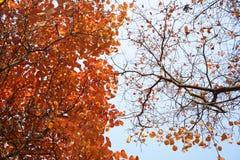 两在秋天的Ginko树 免版税图库摄影