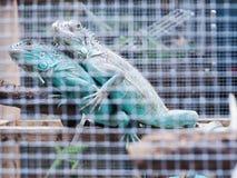 两在笼子的鬣鳞蜥 库存图片