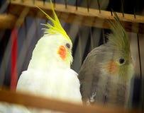 两在笼子的鹦鹉。 图库摄影