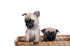 两在篮子的哈巴狗小狗 图库摄影