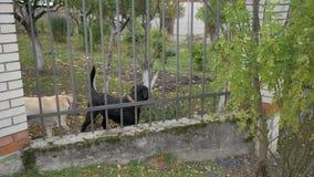 两在篱芭后的逗人喜爱的护卫犬,咆哮,检查您 4K 影视素材